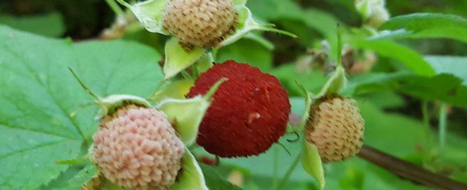 Thimbleberry Rubus parviflorus Wild Red Rasberry